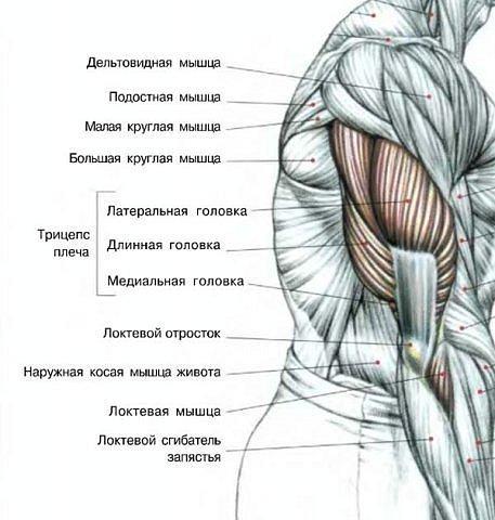 Анатомия плеча 2