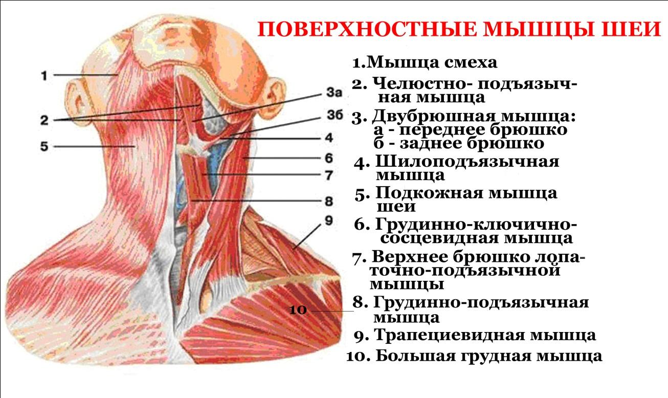 Анатомия шеи 1