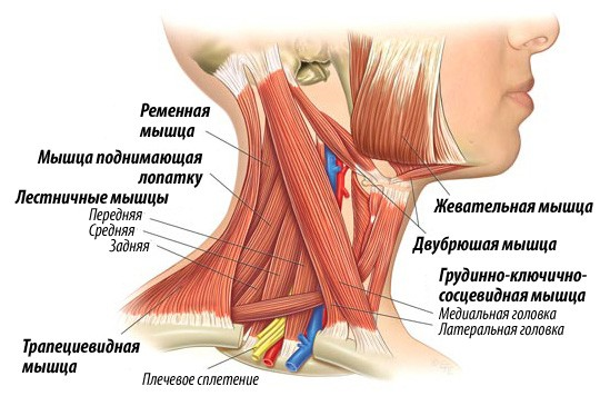 Анатомия шеи 2
