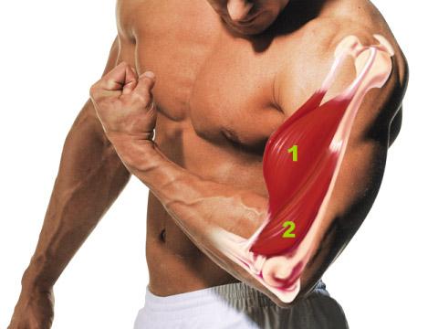Анатомия бицепс