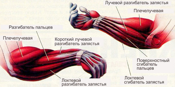 Предплечья анатомия