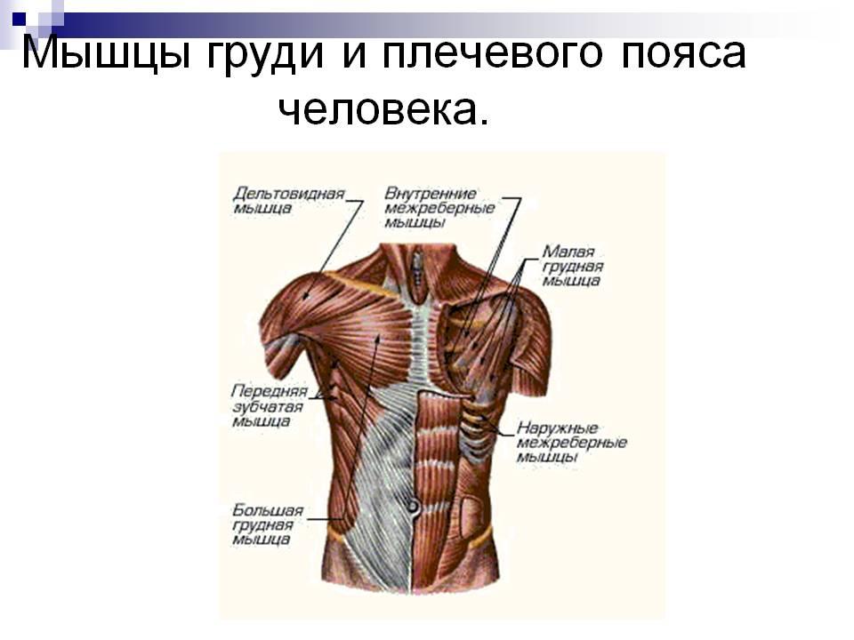 Анатомия мышц груди