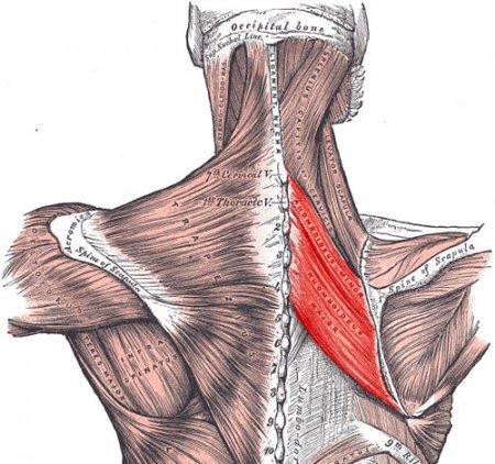 Большая и малая ромбовидная мышца