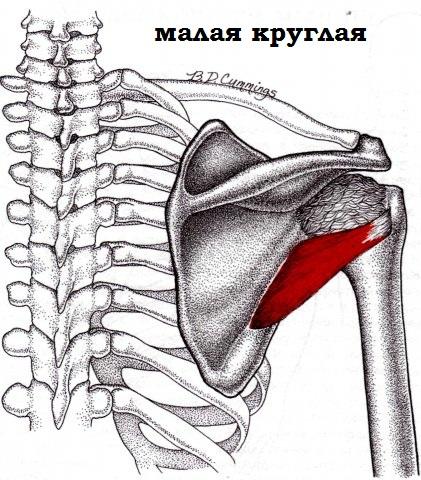 Малая круглая мышца