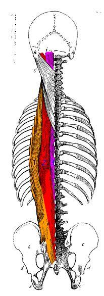 Мышца выпрямляющая позвоночник