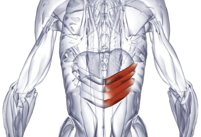 Нижняя зубчатая мышца