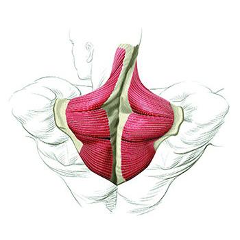 Трапециевидная мышца