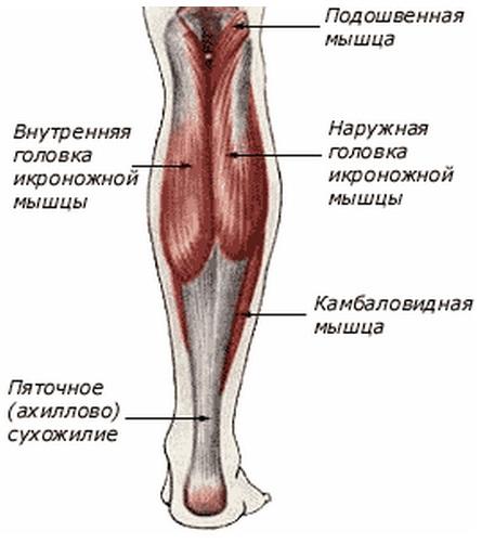 Мышцы голени