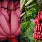 Красные бананы: польза и отличие от желтых