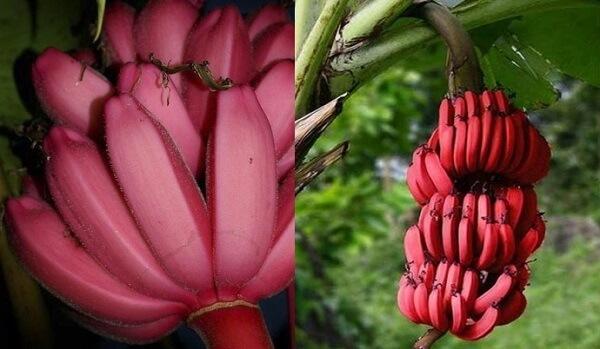 Красные бананы: польза и отличия от желтых