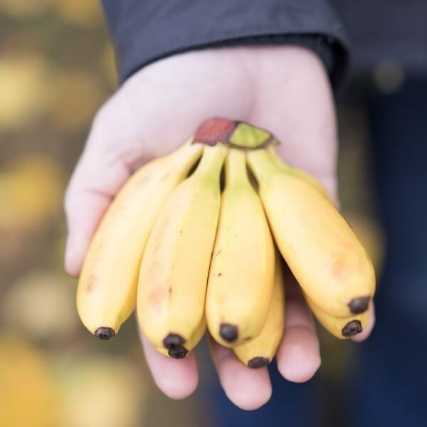 Мини бананы: польза и отличия от больших